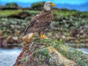 Van Isle Eagle