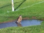 Hawk drinking out of a puddle at the park