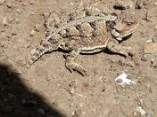 Horned lizard blending in