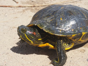 Aquatic red eared slider turtle on the edge of the pond