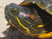 Red eared slider turtle face closeup