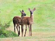 White Tail Deer Yearlings