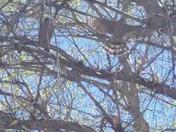 Cooper hawks in a tree