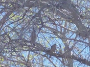 Cooper hawks hanging out