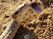Perfect shot of a bull snake striking at me!
