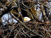 Gray's Lake Eagle Nest Still waiting