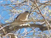 Cooper hawk in a tree