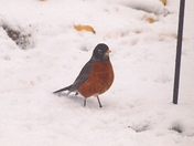 MR ROBIN LONGS FOR SPRING!