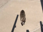 Rare  Coatimundi spotted on 60th Street off Coors near I-40