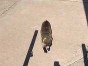 Rare  Coatimundi spotted on 60th Street off Coors near I-40