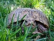 Turtle that lives in my backyard