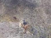Bobcat scratching itself like a dog