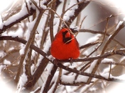 CARDINAL IN SPRING SNOWSTORM