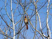 Spring female cardinal
