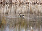Merganser duck pair
