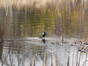 Male merganser duck at the marsh