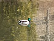 Male duck: reflections in the pond