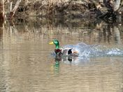 Male duck  landing on local pond