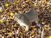 Curious bobcat
