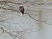 Bald eagle spotted in Greenville, Indiana today