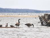 Waterfowl On Sebago Lake