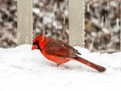 Cardinal in today's snow in Manchester