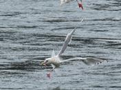 Gull Acrobatics