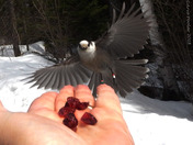 Gray Jay coming in for a snack