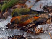 Crossbill Birds