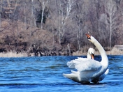 It is mating time for mute swans.