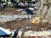 Sunning Fox Weather Photo