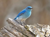 Mountain Bluebird Passing Through