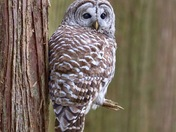 Mr. Barred Owl