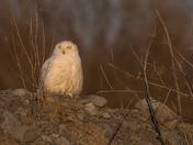 Snowy Owl in evening light