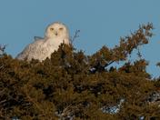 Snowy Owl in the cedars