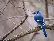 MH_144 | Bluejay
