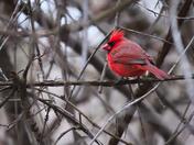 MH_146 | Cardinal