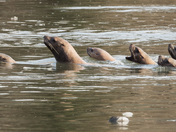 Sea Lion Conga Line