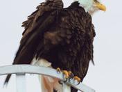Bald Eagle starting to take flight