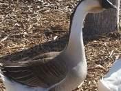 Strange looking Goose