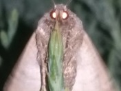 Moth with glowing eyes