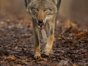 Hungry Coyote
