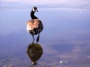 Sassy Canada goose.