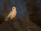 Snowy Owl Golden Hour