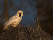 Snowy Owl with a face full of Vole!!