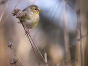 RG_422 | Finch