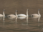 Swan Conga Line
