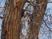 Woodpecker doing its thing