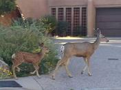 Mamma doe and her fawn walking right through the neighborhood