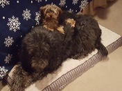 Libby & Maggie  (sadly Libby the Labradoodle) passed away today.